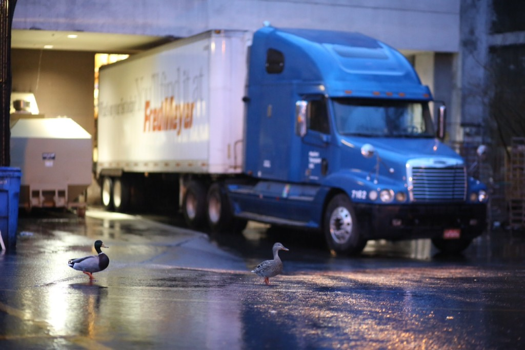 The Fred Meyer Ducks wander the parking lot. (LCL photo)